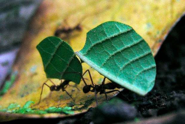 Why can ants lift so many times their own weight?